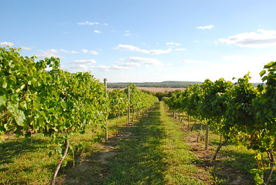Vines in the field.