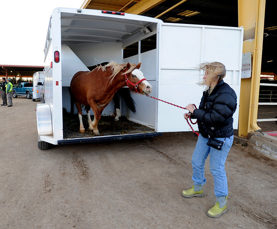 N0108FRRR59.JPG  Holly Harker pulls one of her horses out of a trailer for relocation at the Boulder County Fairgrounds.<br /> Residents in the fire area were evacuated to Niwot High School.<br /> Horses and other animals were taken to the stables at the Boulder County Fairgrounds.<br /> Cliff Grassmick/ January 7, 2009