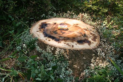 This is the stump that is left.  It measured 39 to 39 inches in diameter.  Coke can is so you can get some idea of scale.