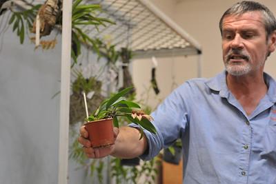 Bulbophyllum annandalei Х Bulbophyllum frostii