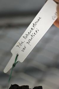 Dendrobium lichenastrum var prenticei