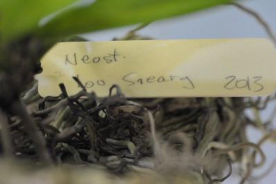 Neostylis Lou Sneary (Neofinetia falcata x Rhynchostylis coelestis)