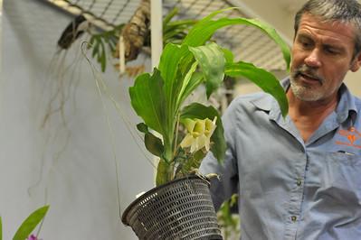 Catasetum piclatum