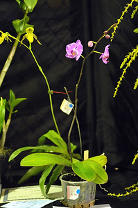 Phalaenopsis New Cinderella