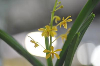 Vanda parviflora X Vanda testacea
