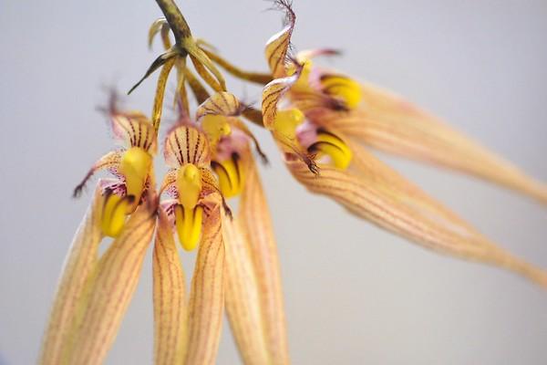 Bulbophyllum fascination