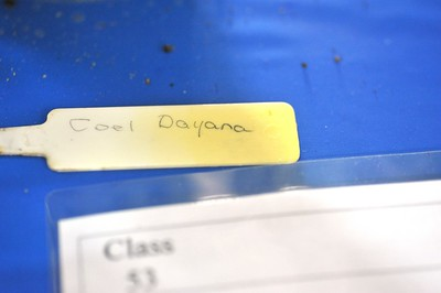 Coelogyne pulverula (Coelogyne dayana)