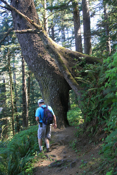 This tree is not carved. This is a tree that started on a nursery log (fallen tree). The trunk grows down and around the fallen log. That log decomposes leaving a walk through pathway.