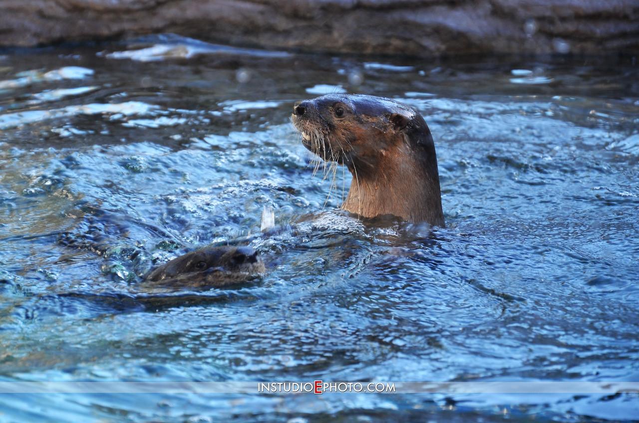EMA_4207 Otter