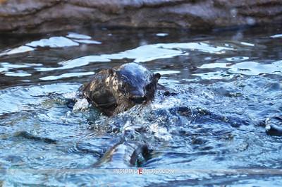 EMA_4204 Otter