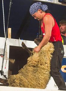 Shun Oishi representing Japan at the Golden Shears World Championships, competing in the World Shearing heats.