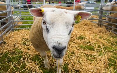 Pedigree Texel Ram at the Golden Shears World Shearing Championship