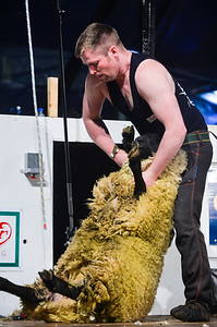 Chris Mullan representing Northern Ireland at the Golden Shears World Championships. On his way to 6th place in the All Ireland Senior Shearing.