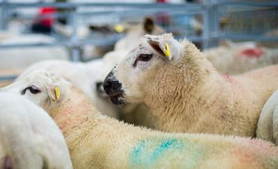 Texel Sheep await judging at the Golden Shears World Shearing Campionship.
