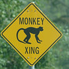 Monkeys? (St. Kitts 2005)