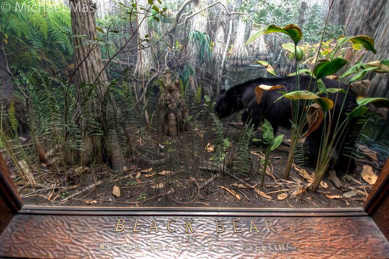 American-Museum-of-Natural-History-Black-Bear-HDR-1