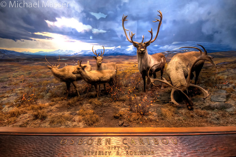 American-Museum-of-Natural-History-Osborn-Caribou-HDR