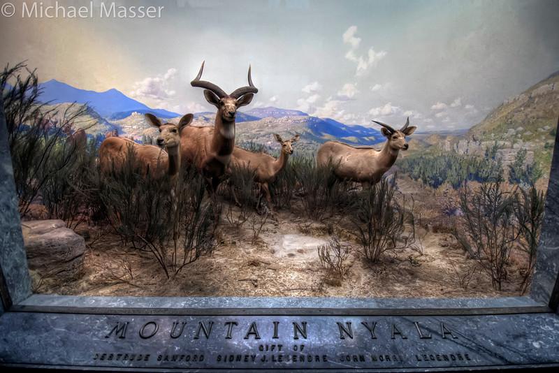 American-Museum-of-Natural-History-Mountain-Nyala-HDR