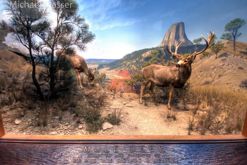 American-Museum-of-Natural-History-Mule-Deer-HDR