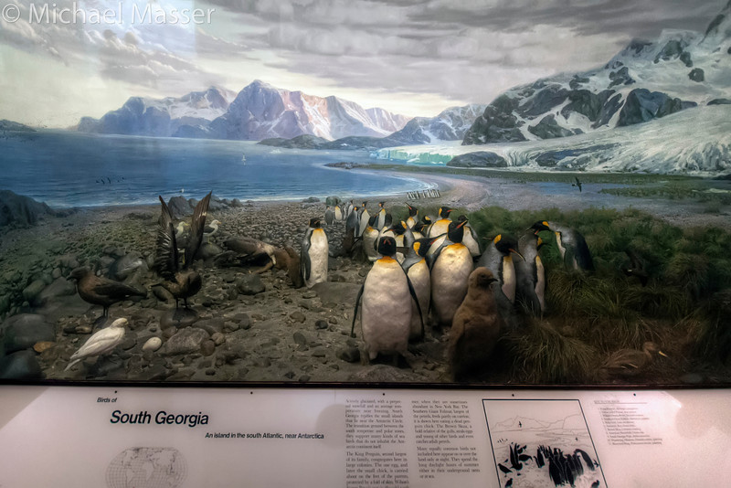 American-Museum-of-Natural-History-Birds-of-South-Georgia-Penguins-HDR