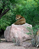 Female lion closer.