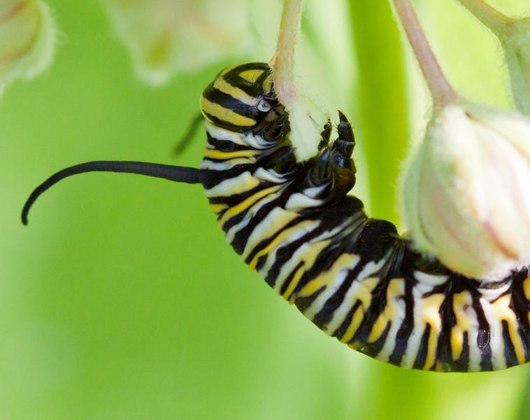 monarch butterfly caterpillar.