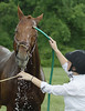Riley enjoys getting sluiced off by his rider, Sara Cohen, after they finished the Low Adult Class competition  at  the June Fete Horse Show June 6, 2015.<br /> Bob Raines--Montgomery Media