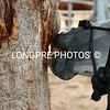 Horse CRIBBING on tree.