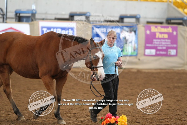29	Paint bred Senior Horse hunter in hand