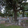 Trees groing up through graves fascinate me and this is a great example.