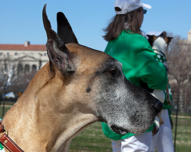 Greenbelt Dog Training Marching Drill Team Rush is the Great Dane
