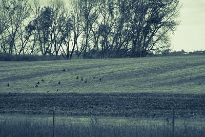 Pheasant Hunting in South Dakota '13