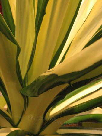 Century Plant