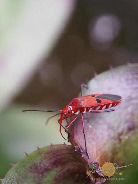 A Cotton Bug