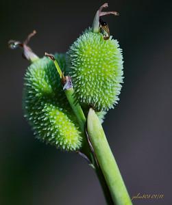 SeedPods012211