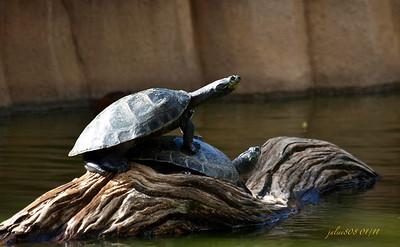 Turtles012211