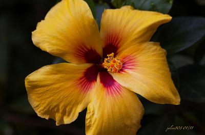 Hibiscus012211