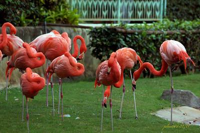 Flamingos012211