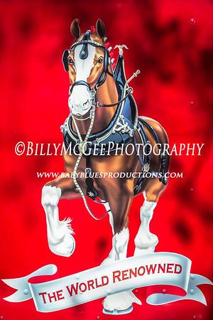 Budweiser Clydesdale Horses - 21 Nov 2014