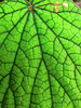 Veins of Begonia.