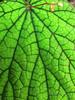 Veins of Begonia.