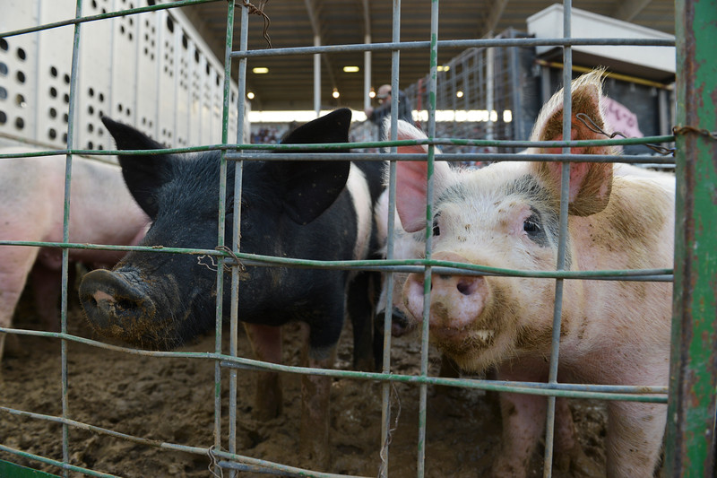 Justin Sheely | The Sheridan Press<br /> Pigs gather in a pen during the annual Pig Wrestling at the Sheridan County Fairgrounds Saturday, July 28, 2018.
