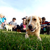"Roxy the dog eats some of the Bixbi Pet treats while waiting for the Play-Dead-A-Palooza at Scott Carpenter Park to begin on Sunday on Sunday. Eleven dogs played dead to set a world record recognized by  the Record Setter Council.<br /> A world record effort, supported by RecordSetter, is to raise awareness about tainted dog treats.<br /> For more photos and a video of the dogs, got to  <a href=""http://www.dailycamera.com"">http://www.dailycamera.com</a>.<br /> Cliff Grassmick  / September 23, 2012"