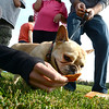 "Phoebe the French bulldog owned by Jeff Donaldson, tries out some of the Bixbi pet treats at the Play-Dead-A-Palooza at Scott Carpenter Park on Sunday. Bixbi Pet (makers of 100 percent USA sourced dog treats) set the world record for 11 dogs playing dead at once. A world record effort, supported by RecordSetter, is  to raise awareness about tainted dog treats.<br /> For more photos and a video of the dogs, got to  <a href=""http://www.dailycamera.com"">http://www.dailycamera.com</a>.<br /> Cliff Grassmick  / September 23, 2012"
