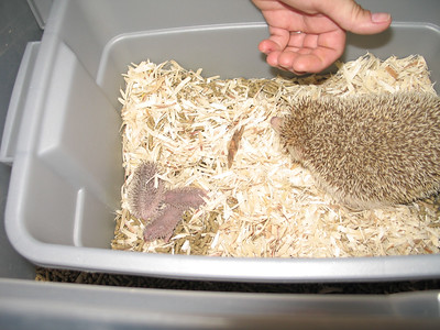 Hedgehog Gathering at PogStar Hedgehogs (06/2005)  Hedgehog Photos  Filename reference: 20050620-022303-HAH-PogStar_Gathering