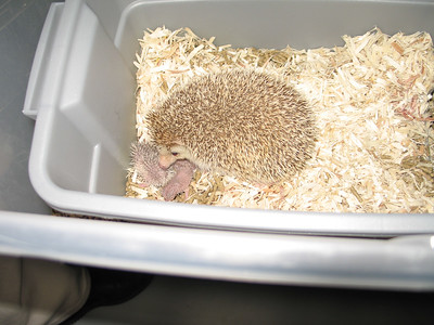 Hedgehog Gathering at PogStar Hedgehogs (06/2005)  Hedgehog Photos  Filename reference: 20050620-022319-HAH-PogStar_Gathering