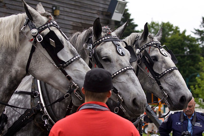 Heavy horses from Victoria Fire Dept, Port Moody Centennial Parade and All Nations Festival, Jun 22, 2013