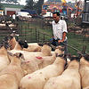 Priddy Sheep Fair 1997
