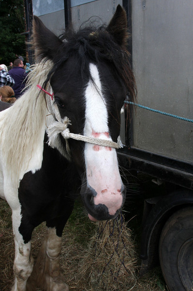 """Priddy Fair 2008 - sad little pony with sores from the rope"