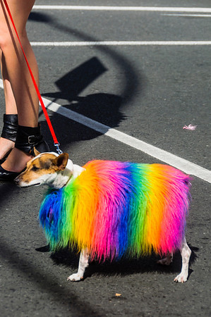 Dog wearing rainbow coat Pride Parade Ponsonby Road Auckland